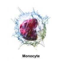 monociti-bassi